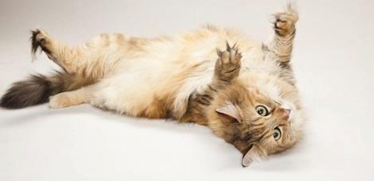 Kedi çığlık sendromu - nedir