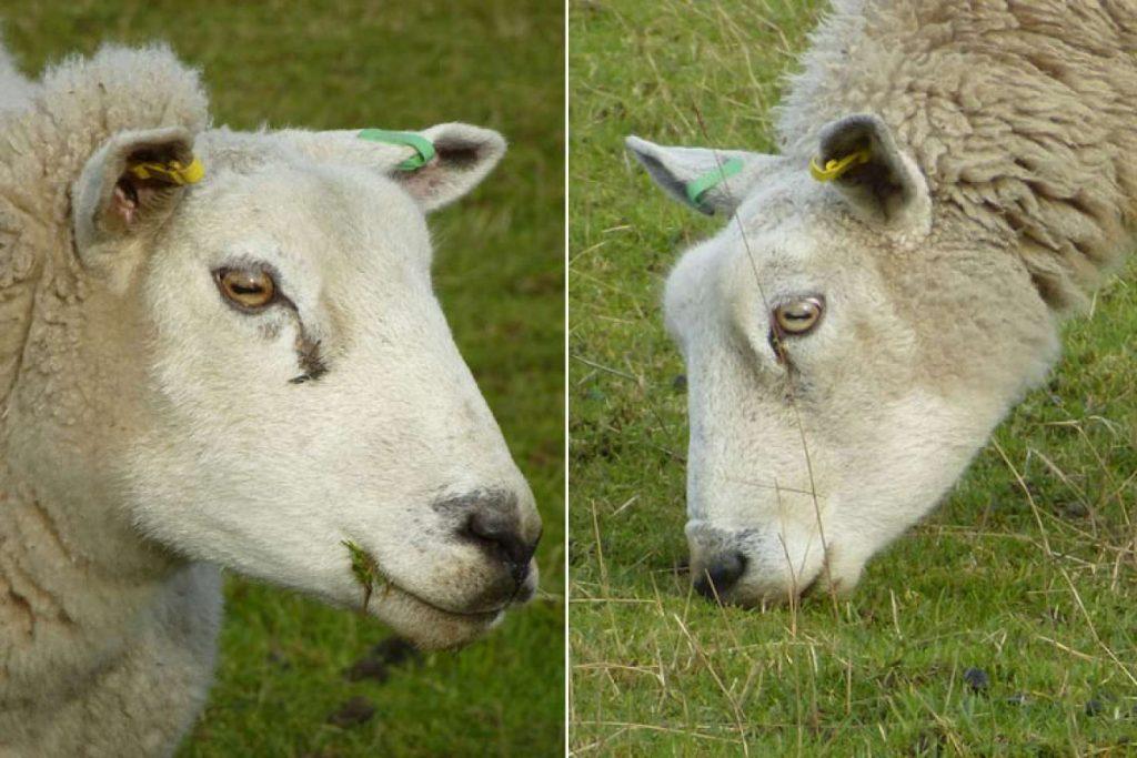 Yatay göz bebeğine sahip olan bir avcı, Koyun.