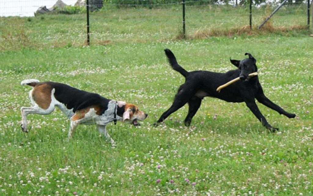 800px-American_Foxhound_and_Labrador_Retriever_playing