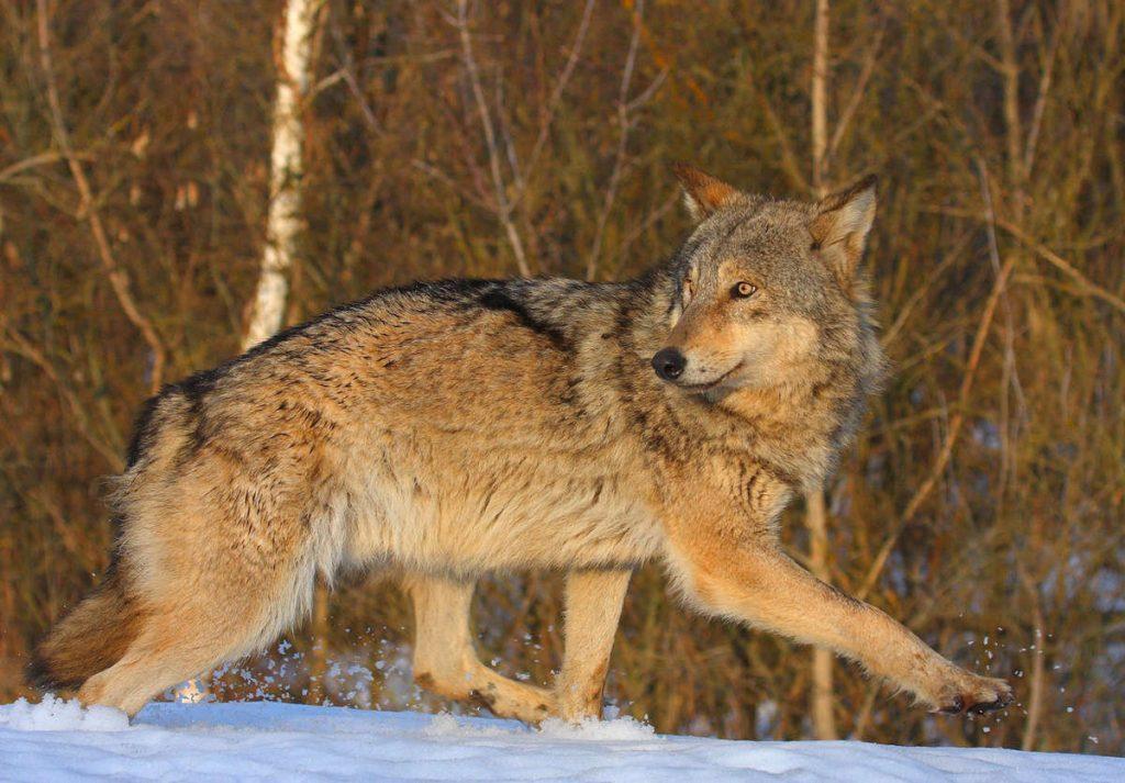 Canis lupus, Avrasya Gri Kurdu