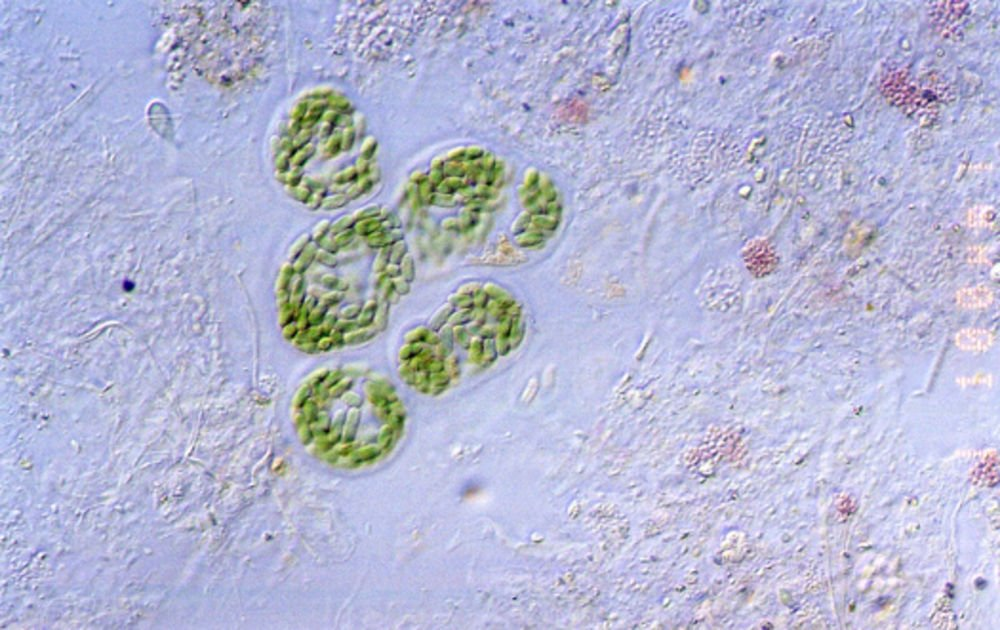 800px-Cyanobacteria_guerrero_negro