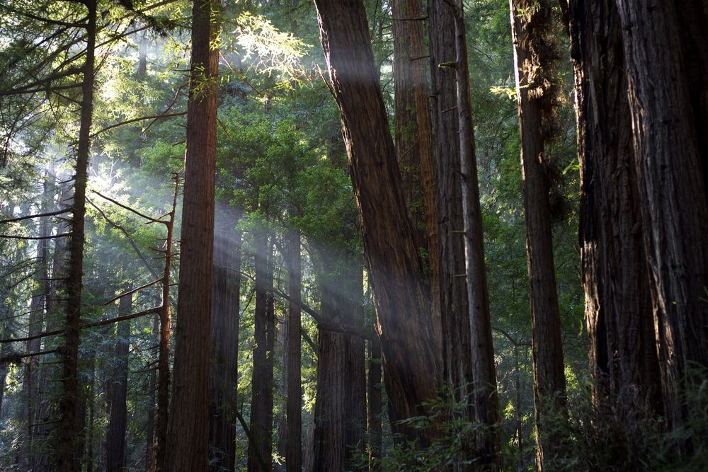 Crepuscular Rays in Muir Woods