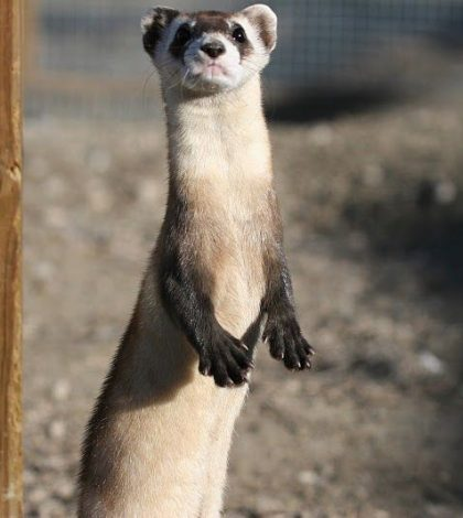black-footed_ferret