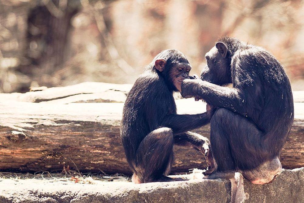 En yakın akrabalarımız olan şempanzelerle karşılaştırdığımızda bizim beyinlerimiz çok daha büyük. Bu durum bizim gelişmiş yargılama yeteneğimizden kaynaklanabilir mi?
