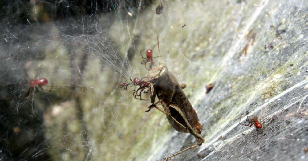 social-spiders-anelosimus-eximius-university-british-columbia-2
