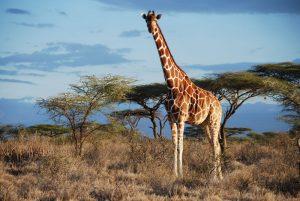 Samburu Ulusal Parkı, Kenya'da bir ağsı desenli zürafa