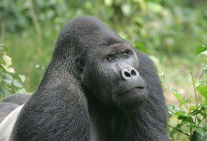 Ciminuka Kahuzi-Biega Ulusal Parkındaki bir goril