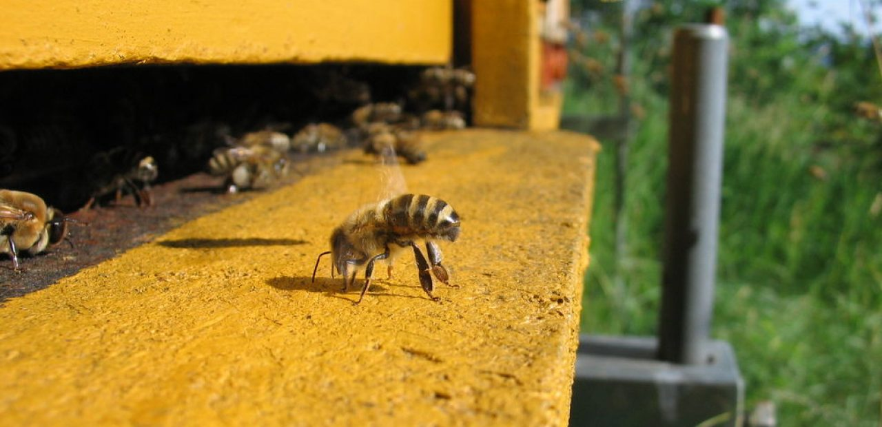 Arılar Bakteri: açıklama ve açıklama