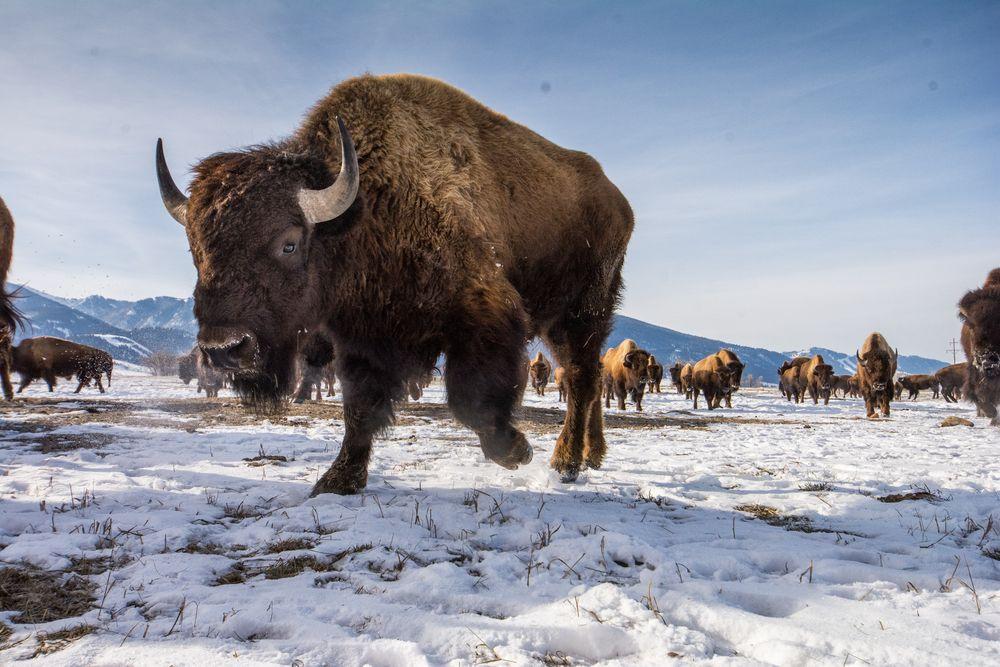 Bir zamanlar sayısı on milyonlarca ile ifade edilen Amerikan bizonu, yolculuğuna yüzyıldan daha fazla bir süre önce tam yok olmanın eşiğinde iken, Yellowstone Ulusal Parkı'na hayatta kalan sadece iki düzine üyesinin sığınmacı olarak verilmesi ile başladı. Günümüzde bunların bazı yabani ve serbest dolaşan nesli, tıpkı Ulusal Geyik Barınağı'nda dolanan sürü gibi, Jackson Hole'da kendilerine yurt edinebildiler.