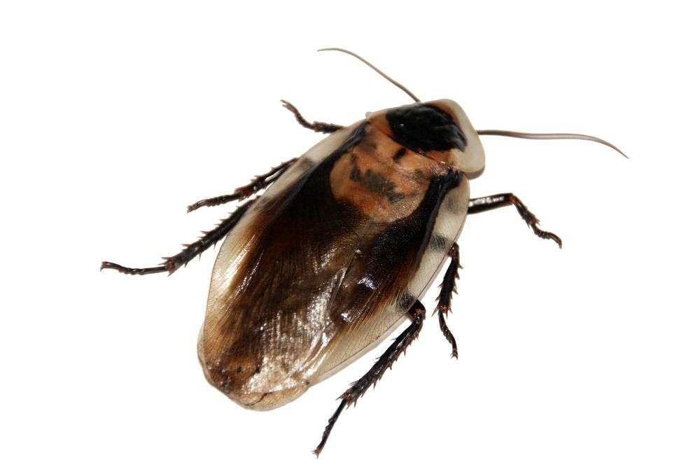 cockroach-566712