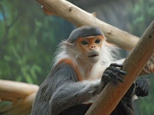 red-shanked_douc_monkey