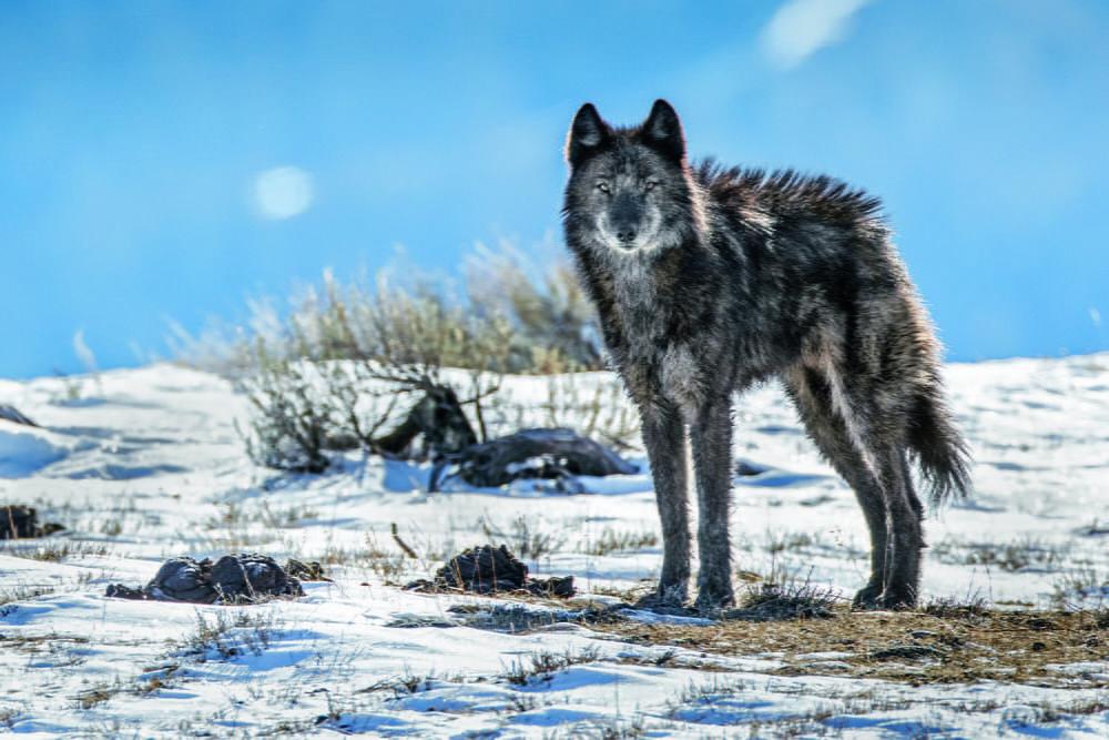 wolf, Teton National Park. WY MM8326