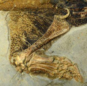 Fosili renklendirmek Psittacosaurus fosili örneği üzerinde iyi korunmuş, belirgin desenler