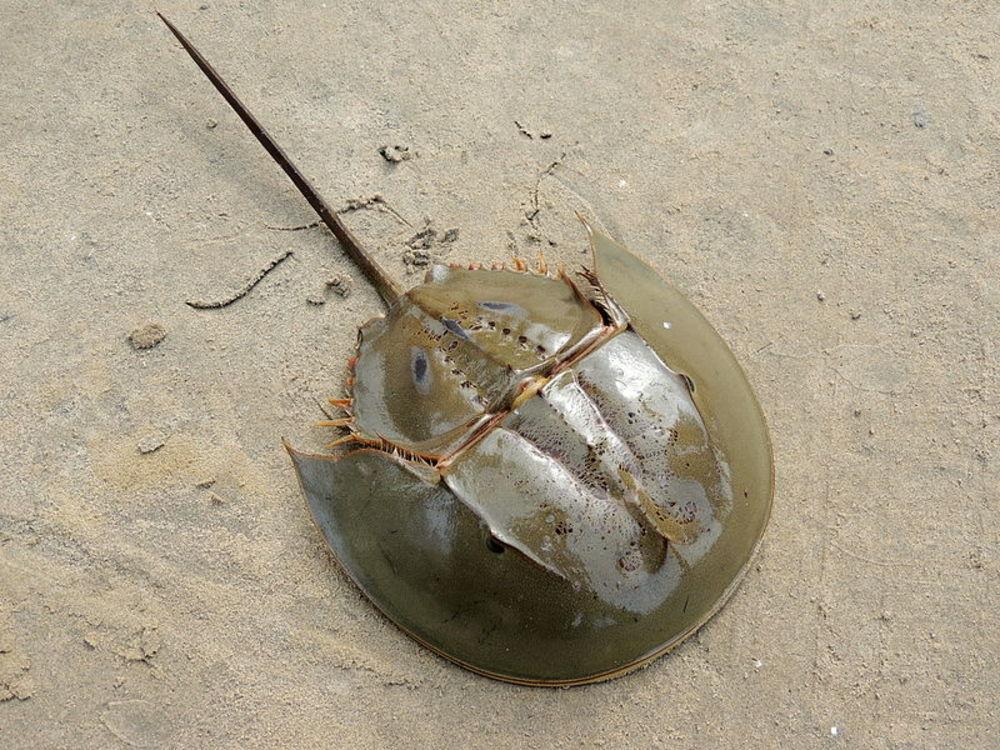 Tachypleusgigas, Güneydoğu Asya'da bulunan bir atnalı yengeci türüdür.