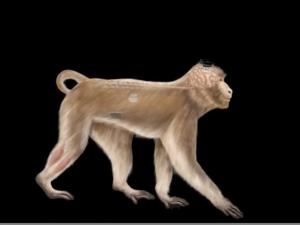 Araştırmacılar, felçli maymunların beyinlerine yerleştirdikleri kablosuz cihazla, onların hareket kabiliyetlerini tekrar kazanmalarına ve yürümelerine yardımcı oldu.