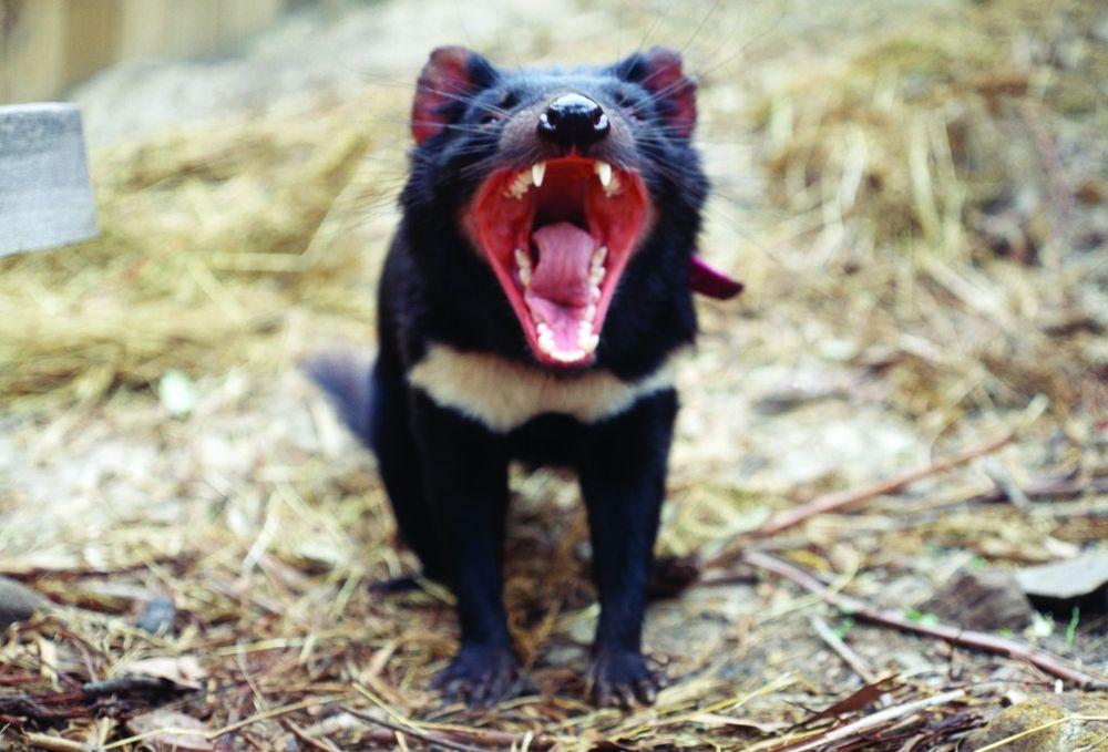 : Çizgi filmdeki tazmanya canavarı gibi hızla dönecek kadar evrimleşemeseler de popülasyonlarını tahrip eden bulaşıcı kansere karşı tepki verecek şekilde değişebildikleri görüldü