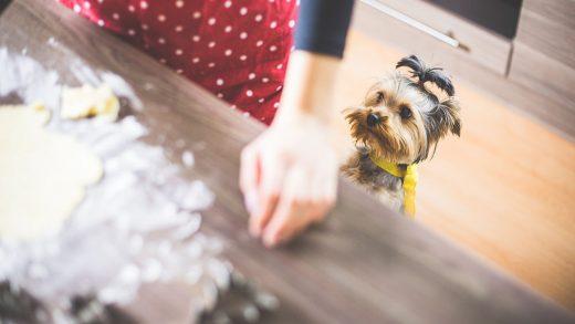 Mutfak tezgahına bakan küçük köpek