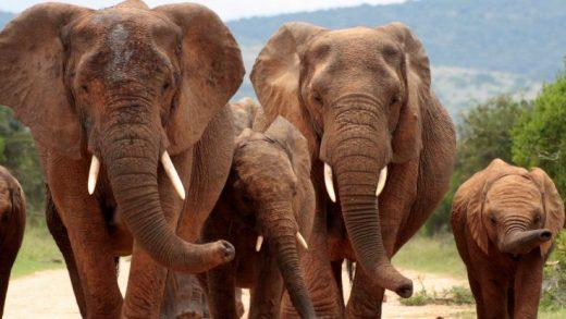Erken Bulgular, Fillerin Kaçak Avlanma Yüzünden Dişsiz Evrimleştiğini Gösteriyor