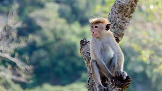 Çinli Araştırmacılar, Maymunlara İnsan Beynindeki Bir Geni Yerleştirdiler