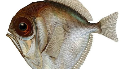 Denizin Derinliklerinde Yaşayan Bir Balık, Karanlıkla Baş Etmek İçin Mükemmel Görme Yetisi Kazanmış