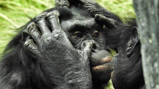 Anne Bonobolar, Erkek Çocuklarının Dişi Bulmasına Yardımcı Oluyor