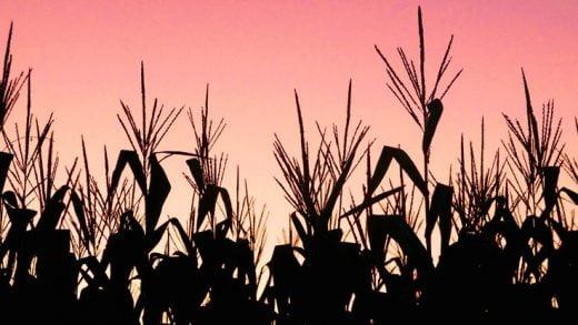 İspanya'da İlk GDO Ekinlerin Ekilmesinden Bu Yana 21 Yıl Geçti, Peki Şimdi Neler Oldu?