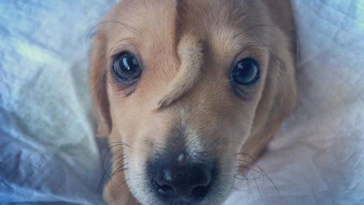 Bu Sevimli Köpeğin Alnındaki Kuyruğun Bilimi