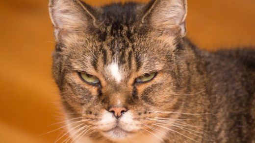 Kedinizin Bir Yeri mi Ağrıyor? Kedinin Yüzü, İnce İpuçları Barındırıyor Olabilir