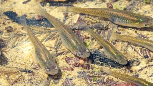 Sularımızdaki Antidepresanlar, Balıkları İlginç Bir Şekilde Etkiliyor