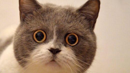 Yeni Çalışmaya Göre Kedilerin Yüz İfadeleri Var Fakat Onları Okumakta Pek İyi Değiliz