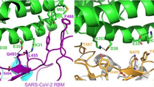 Koronavirüsün 'Diken' Proteini Üzerinde Yapılan Yeni Çalışma, Virüsün Hızlı Yayılışını Açıklamaya Yardımcı Olabilir